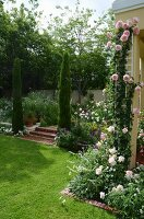 Pink 'Eden' climbing rose on house façade; steps flanked by cypress trees to one side in garden
