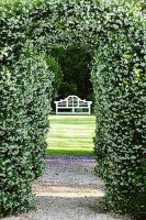 View through archway in hedge of star jasmine to white garden bench on sunny lawns