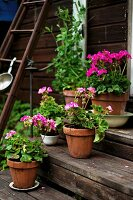 Potted pink geraniums on wooden steps
