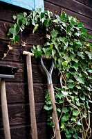 Gardening tools leaning against ivy-covered, dark wooden facade