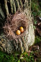 Eggs dyed using anatto seeds in straw nest on old cherry tree