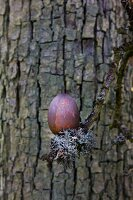 Egg dyed using red wood hanging on branch covered in lichen