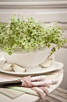 Oregano planted in white china tureen