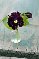 Viola with ruffled petals in glass bottle