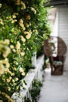 Yellow-flowering bush on veranda