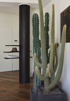 Large potted cacti in front of round, black pillar with integrated cloakroom shelves in restored hallway