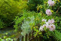 Pink-flowering rhododendron in summery garden with stream