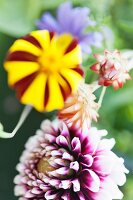Purple and white dahlia, striped French marigold and other garden flowers