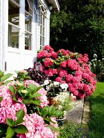 Pale pink and deep pink hydrangeas outside conservatory
