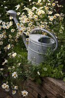 Zinc watering can amongst flowering chamomile