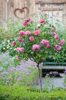Pink rose in flowering garden; vintage, metal heart on wall of wooden shed in background