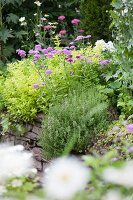 Purple-flowering perennials in garden