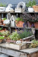 Flowering lavender on table in front of shelves of terracotta pots and vintage garden accessories