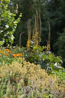 Flowering plants (Ligularia) in summer garden