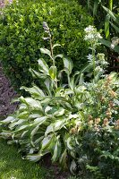 Flowering variegated hosta in summer garden
