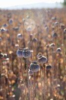 Field of poppy seed heads in sunlight
