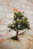Bonsai tree planted in artistic container