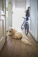 Dog lying on wooden floor in long simple hallway