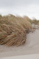 Grasses growing on sand dunes