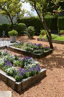 Raised flower beds with wooden surrounds planted with purple & white flowers surrounded by gravel