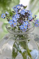 Glass vase of forget-me-nots (close-up)