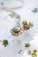Arrangement of sempervivums, crassula and small cactus in old egg cups decorating table