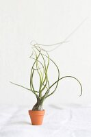 Tillandsia in tiny clay pot on white linen
