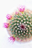 Pink-flowering cactus seen from above