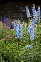 Pale purple delphiniums in summery cottage garden