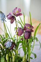 Snake's head fritillaries and grape hyacinths