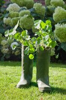 Nasturtiums planted in green wellies on sunny lawn