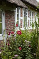 Red-flowering hollyhocks outside traditional thatched cottage