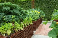 Kale growing in raised bed edged by woven iron rods in garden