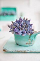 Grape hyacinths in vintage-style pot