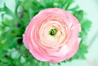 Pink ranunculus flower (close-up)