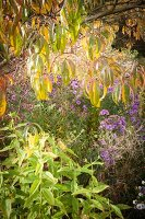 Bright autumn coloured in herbaceous borders in natural-style garden