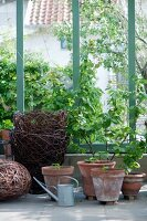 Foliage plants in terracotta pots, zinc watering can and wicker planters in summery conservatory