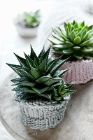 Potted succulents in knitted cosies