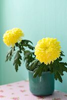 Potted yellow chrysanthemums in front of turquoise wall