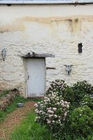Flowering rose bushes outside door in vintage house façade decorated with weathered animal skulls