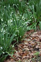 Delicate, flowering spring snowflakes and leaf litter in garden