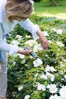 Woman cutting white roses in garden