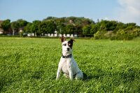 Small dog in meadow
