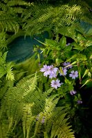 Purple flowering garden plant and fern