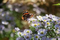 Red admiral on autumnal asters