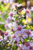 Pink autumn asters