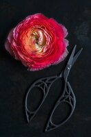 Pink ranunculus flower and ornate scissors on black surface