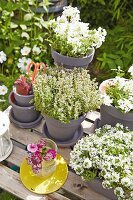 White flowers and herbs in grey terracotta pots on a garden table