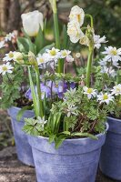 Double narcissus, wood anemones, violas and tulips in purple flowerpots