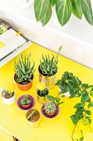 Succulents and cacti on yellow table